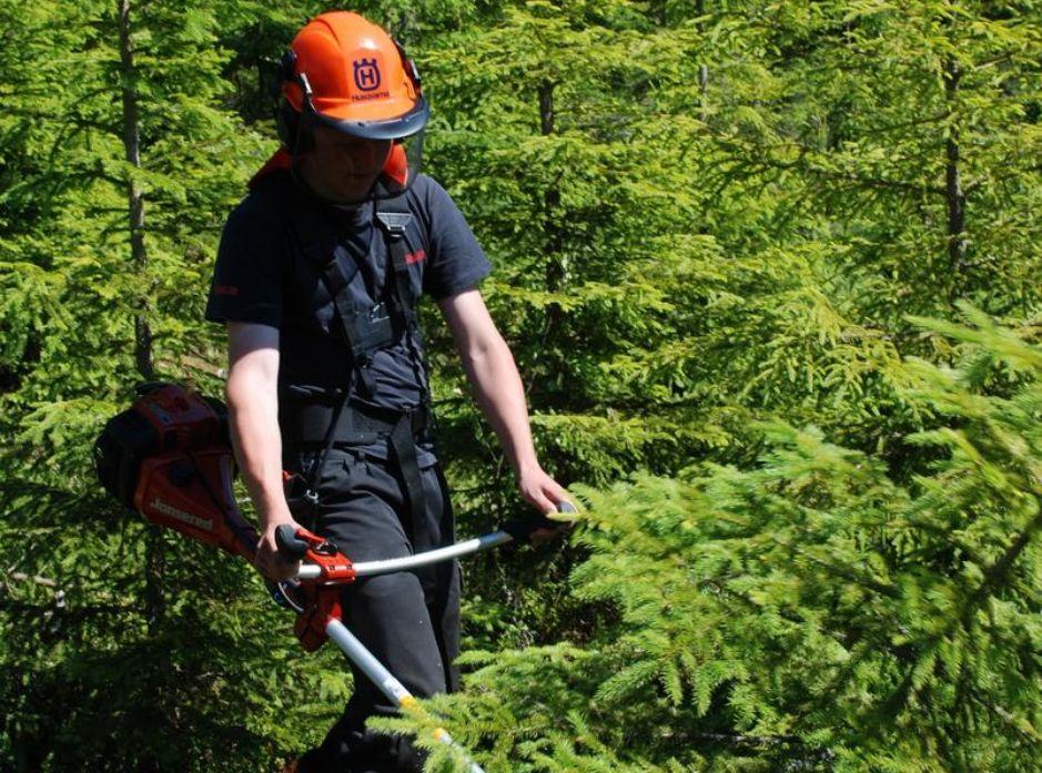 Fristilling av trær i ungskogpleien bidrar til dannelse av større rotsystem og bedrer dermed fremtidstrærnes muligheter for forankring og stabilitet senere i omløpet. Foto: Anders Hals