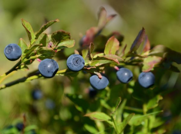 Blåbær er en nøkkelart i skogen og basis i mange næringskjeder. Eksempelvis beiter mange insektslarver på  blåbær og insektlarvene er igjen livsviktige for storfuglkyllinger på våren og forsommeren. Foto: Inge Jahren