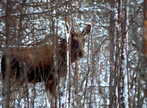 Frykter ny sykdom på hjortevilt