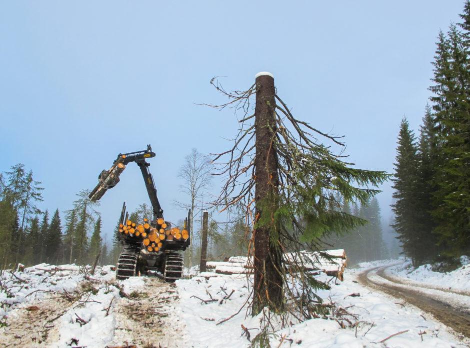 HØGSTUBBE: Toppen av treet er kappet av for å unngå stormfelling. Enkelte arter trives spesielt godt i stående døde trær, og entreprenøren har derfor latt «stubben» stå igjen.