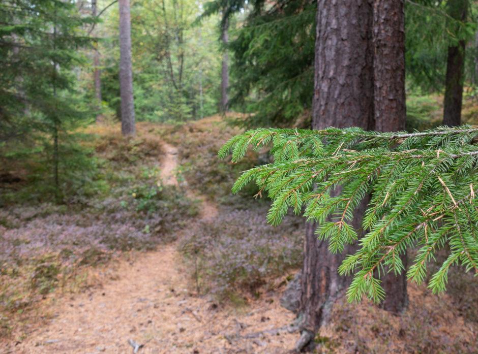 EN DEL AV KLIMALØSNINGEN: Ved å hogge trærne når veksten og karbonbindingen avtar, og deretter plante nye trær der de gamle sto, kan vi utnytte skogens potensial til å binde og lagre karbon på en best mulig måte.