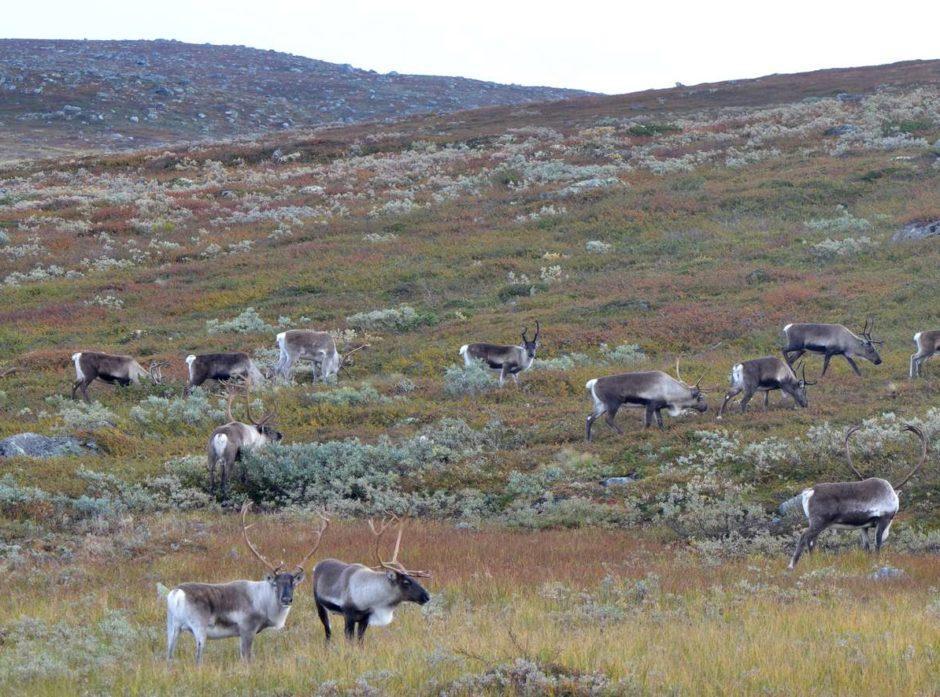 Villrein av Norefjellstammen. Foto: Anders Hals