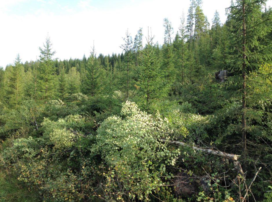 UNGSKOGPPLEIE: Det er viktig å fjerne lauvtrær som hemmer veksten til unge grantrær, slik som det er gjort her.