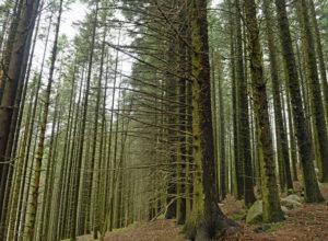 53% mer tømmer med sitka enn vanlig gran