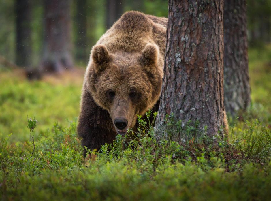 Gjennom innsamling og DNA-analyser av prøver ble det registrert 138 brunbjørn i Norge i fjor. Illustrasjonsfoto: Colourbox