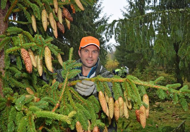 – Å kappe av toppen for å sanke gjør ingenting, for da bærer treet mer kongler i neste kongleår, sier Vegar Hvamb i Skogselskapet i Telemark. Han organiserer konglesankingen i Telemark.