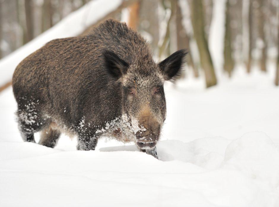 Villsvin observeres stadig nye steder i Norge, men det er i stor grad snakk om streifdyr fra Sverige. Ilustrasjonsfoto: colourbox.