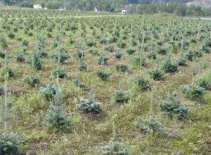 Ønsker seg flere norske juletrær