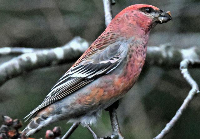Den rødrosa konglebithannen kan knapt forveksles med noen annen norsk fugleart.