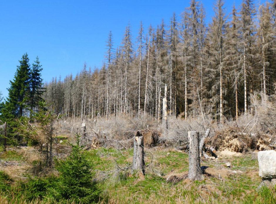 Store skogområder i Tyskland er angrepet av barkbiller. Foto: Shutterstock