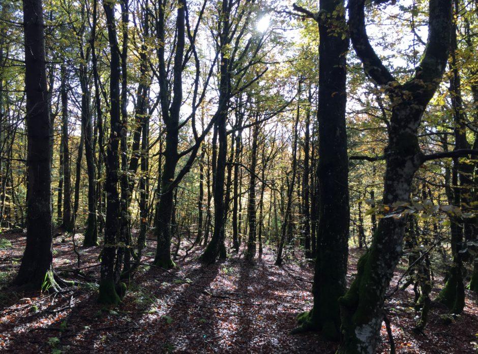 Korpen og Sagkollen naturreservat i Larvik inneholder blant annet rik, gammel bøkeskog. Foto: Svein Ekanger, Viken Skog