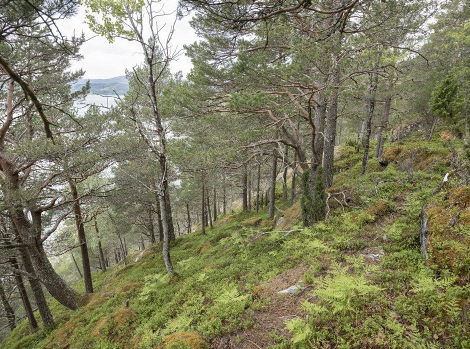 Det svært bratte terrenget på Fjøseid i Tingvoll har gjort at skogen har fått stå i fred. Nå vernes området som naturreservat gjennom frivillig vern. Foto: Øyvind Leren