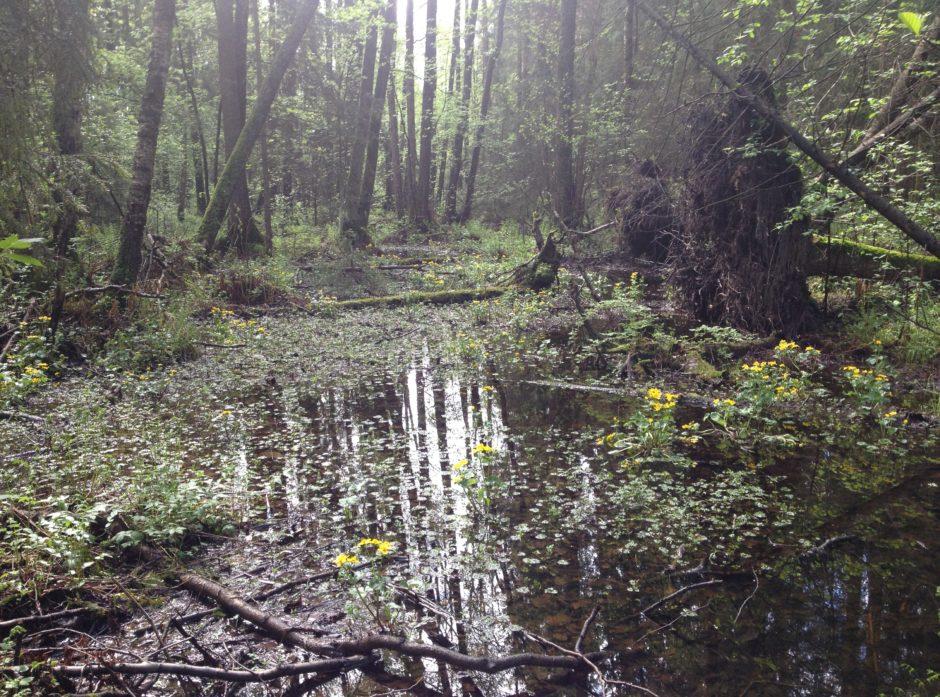 Sumpskog er en skogtype som huser mange arter og som det ønskes mer vern av. Foto: Erica Neby