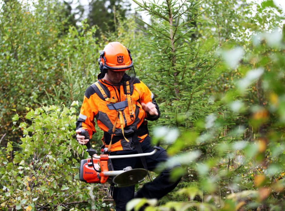 Her fjernes løvtrær for at grantrærne skal vokse bedre